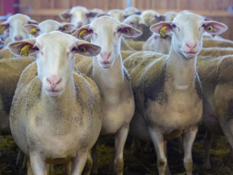 Elevage des moutons - Bergerie Des 2 Savoie