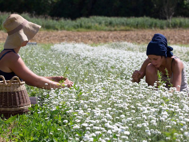 La Belle Verte la récolte