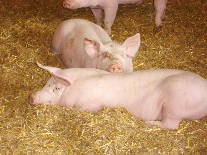 La Ferme de Follon nos cochons