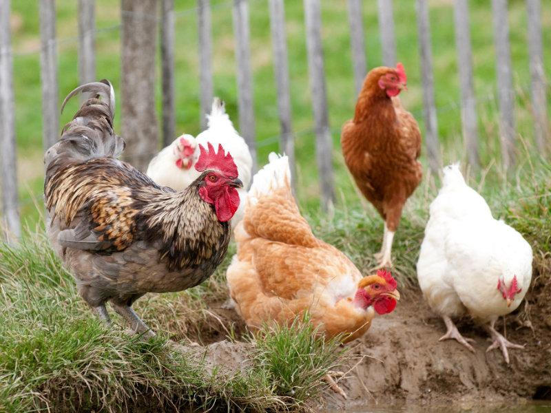 La Ferme de Follon nos poules