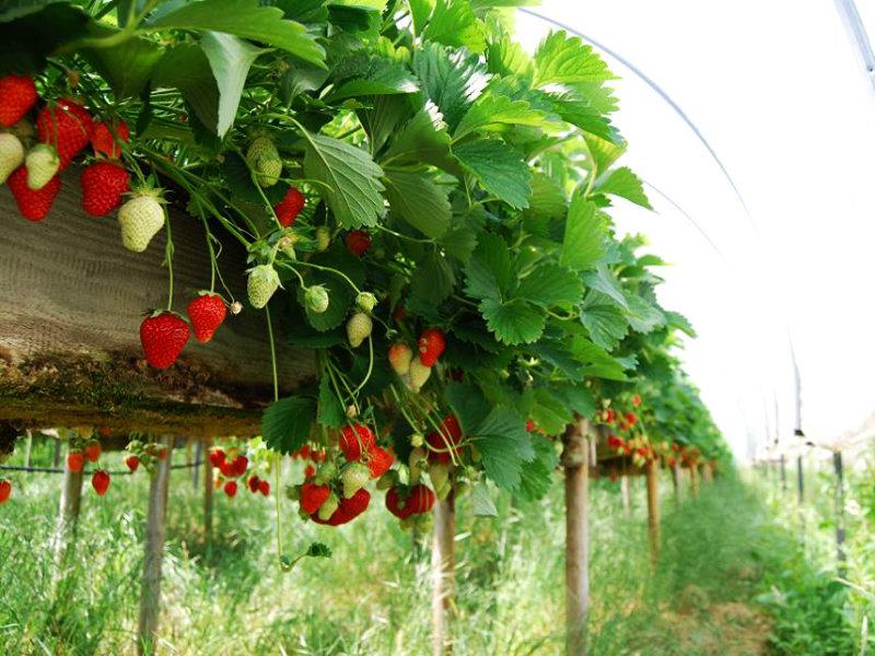 Notre exploitation de fraises