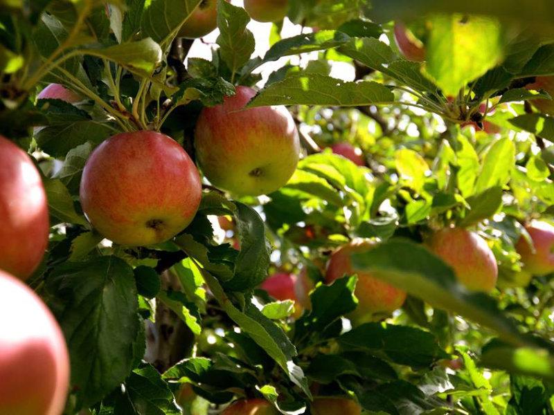 Notre verger de pommes