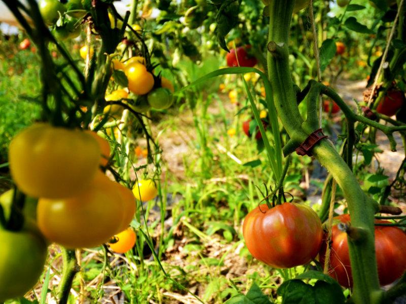 Nos tomates fraîches